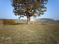 AĞACLI AYI MANTARI - panoramio.jpg
