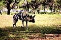 AFRICAN WILD DOG (14053044695).jpg