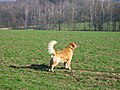 A Golden Retriever barking (Barras).JPG