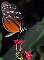 A Nectar Shake Through A Bendy Straw (16837181712).jpg