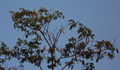 A Parrot (கிளி)sitting on tamarind tree & watching the hamlet.png