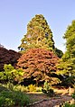 A Redwood and a Copper Beech compete for glory - Miskin Manor Hotel - geograph.org.uk - 1373892.jpg