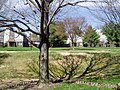 A Tree at Cinnamon Drive, Germantown - panoramio.jpg