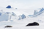 A Weddell Seal Basks in the sun as it Lays on the ice Outside Scott Base, the New Zealand Research Station (30812065472).jpg