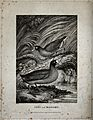 A coot and a moorhen on the shore of a river. Etching by W. Wellcome V0020719.jpg
