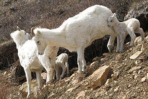 Dall sheep - Image: A ewe and lamb group in Denali National Park (9184051541)