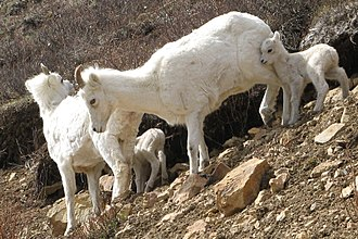 Dall sheep - Image: A ewe and lamb group in Denali National Park (9184051541)
