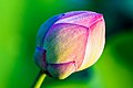 A lotus bud.jpg