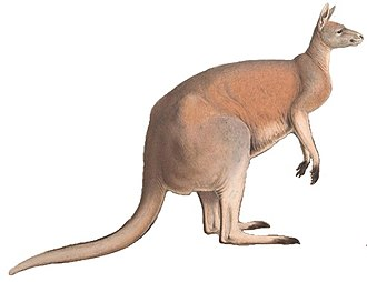 Marsupial - Image: A monograph of the Macropodidæ, or family of kangaroos (9398404841) white background