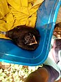 "A save sri lankan "" kawda"" bird.jpg"