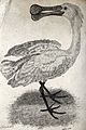 A spoonbill. Etching by Eastgate. Wellcome V0020497.jpg