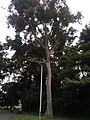 A tree besides the Law Faculty University of Ibadan.jpg