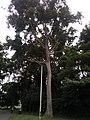 A tree besides the Law Faculty University of Ibadan.jpg