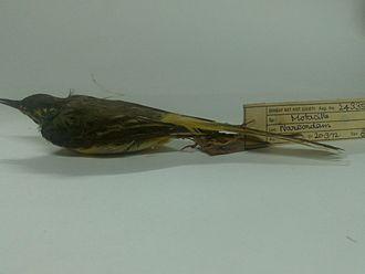 Humayun Abdulali - A grey wagtail collected by Humayun Abdulali at Narcondam in India in 1972.