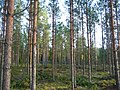 A young stand of pine after the first thinning.jpg