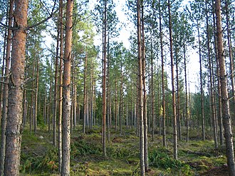 Satakunta - A young stand of pine forest in Northern Satakunta.