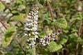 Aarmunt (Mentha spicata) 02.jpg