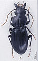 Abacophrastus megalops ZooKeys-147-337-g030 A.jpg