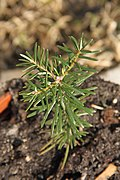 Abies grandis seedling 2.JPG