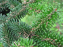 Abies numidica needles 01 by Line1.jpg