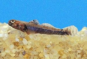 Aboma etheostoma - Female