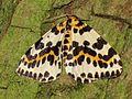 Abraxas grossulariata (Magpie Moth), Arnhem, the Netherlands.JPG