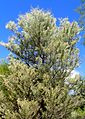 Acacia aneura kz3.jpg