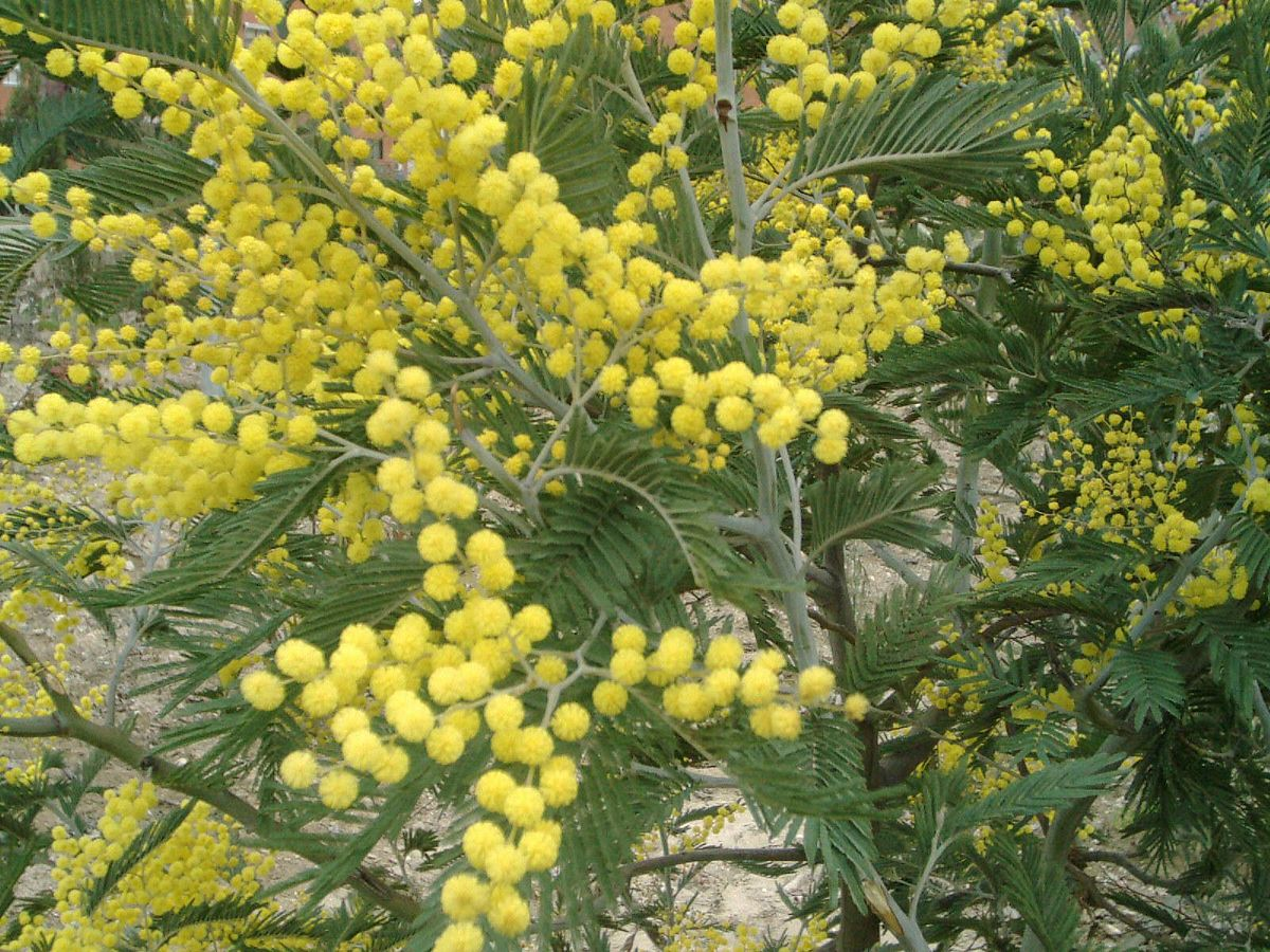 acacia dealbata wikispecies