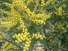 La mimosa, simbolo italiano della Giornata internazionale della donna