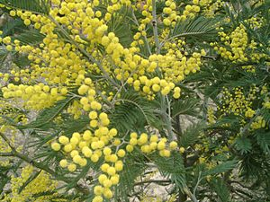 Rabotnitsa - The mimosa (technically, the Silver Wattle) is the symbol of the celebrations of Women's day in Russia and Italy.
