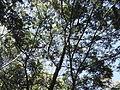 Acacia mearnsii-2-sanyasi malai-yercaud-salem-India.JPG