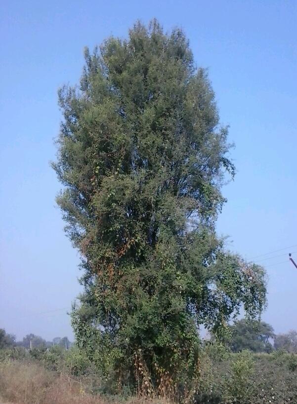 Acacia nilotica subsp. cupressiformis