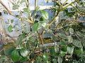 Acca sellowiana (DITSL).JPG