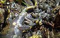 Accouchement salamandre.jpg