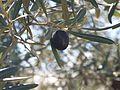 Aceituna, variedad hojiblanca.jpg