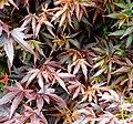 Acer palmatum 'Ben'Otake' in Auckland Botanic Gardens 01.jpg