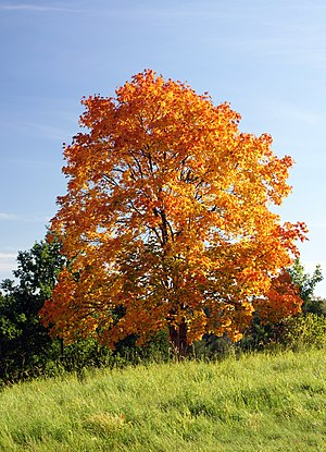 Acer platanoides in autumn colors
