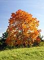 devinette plantes verte ?? 87px-Acer_platanoides_in_autumn_colors