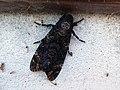 Acherontia atropos Calceranica 01.jpg