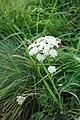 Achilea sp. Asteraceae 03.jpg