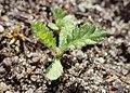 Achillea millefolium kz10.jpg