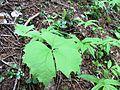 Achlys triphylla (vanillaleaf) - Flickr - brewbooks (1).jpg