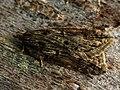 Acleris umbrana (27472364768).jpg