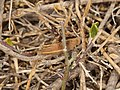 Acrididae sp. (28212928989).jpg