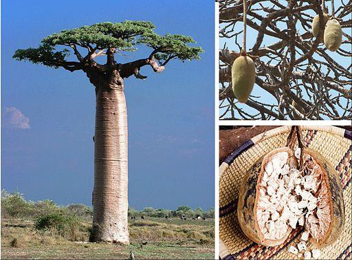 Adansonia fruit compose