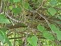 Adavi Amudapu-chettu (Telugu- అడవి ఆముదపుచెట్టు) (4663015017).jpg