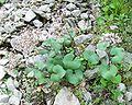 Adenostylesalpina29072004 jeunes feuilles.JPG