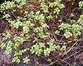 Aeonium sedifolium (Sukkulentensammlung).jpg