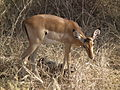 Aepyceros melampus Impala in Tanzania 3487 Nevit.jpg
