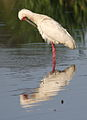 African Spoonbill, Platalea alba at Rietvlei Nature Reserve, Gauteng, South Africa (22618524270).jpg